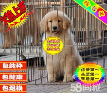 超漂亮金毛幼犬【常年售卖】有保障犬一顾客信赖的选择