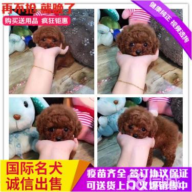 本地繁殖精品泰迪犬便宜出售,包纯包健康包养活
