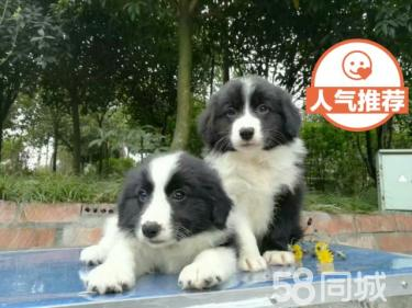 長期繁殖七白三通邊牧犬 各類純種名犬 包養活簽協議