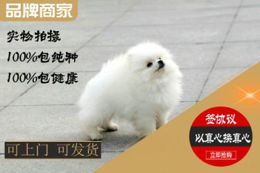 纯种博美幼犬疫苗齐全协议质保免费送货上门