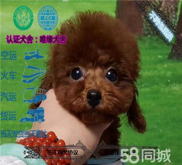 极品泰迪熊茶杯玩具迷你各体各色精品泰迪幼犬宝宝