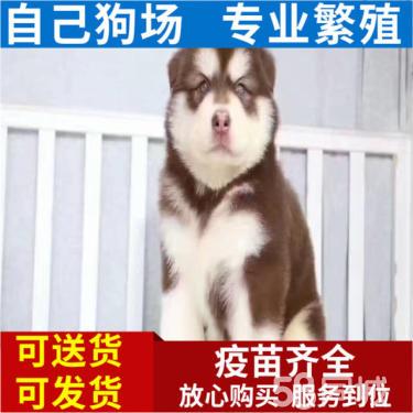出售顶级品质 阿拉斯加雪橇犬 赛级血统 健康保障
