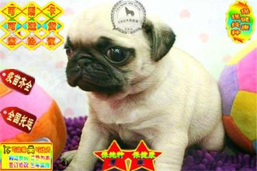 纯种巴哥犬 带血统出售 终身质保 质量三包 签协议