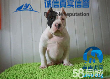 纯种美国恶霸犬,不是斯坦福,是恶霸,签协议出售