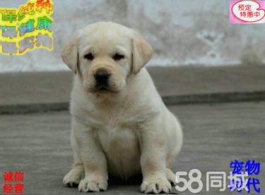 高?#20998;?#21452;血 拉拉幼犬,大骨量,随时可以看狗可送货