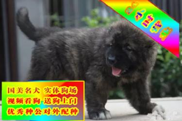 出售純種健康熊版巨型高加索犬 打完疫苗信譽第一