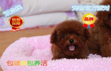纯种韩系泰迪熊 犬舍直销,签协议,包纯种健康