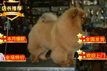 犬舍直销 高品质纯种肉嘴松狮幼犬 包健康包纯种