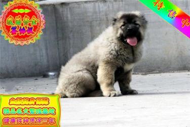 长期繁殖双血统高加索幼犬 各类纯种名犬 包养活签协