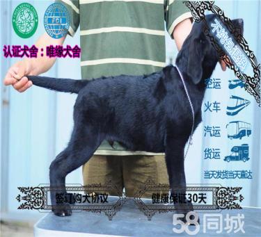 出售純種拉布拉多犬 高品質賽級拉布拉多 保健康