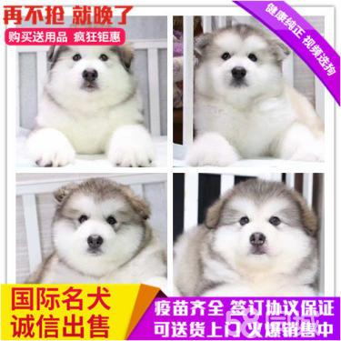 纯种阿拉斯加犬幼犬出售灰色桃脸巨型雪橇犬家养赛级活