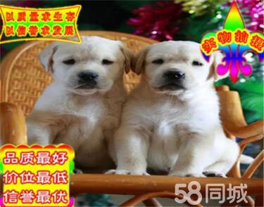 出售純種拉布拉多幼犬 賽級品質 健康質保 免費送貨