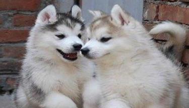 出售纯种 各种名犬 价格合理 包养活 全省配送