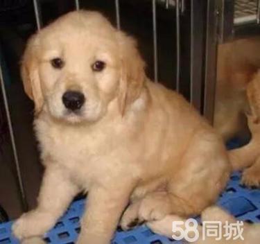 高智商大头纯种金毛黄金寻回犬 疫苗齐全