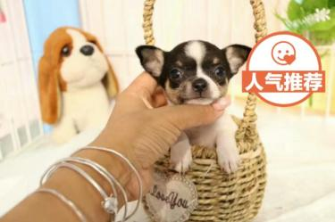 出售漂亮的吉娃娃幼犬 公母都有 純種健康可愛狗狗