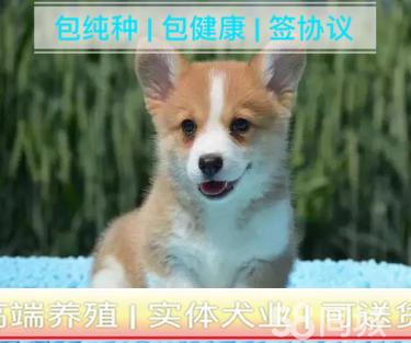 出售高品质(柯基幼犬)三色两色均有|签协议