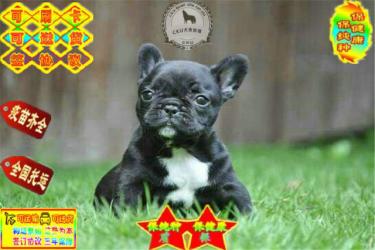 出售��N法��斗牛犬(全��包�])-��f�h-包健康