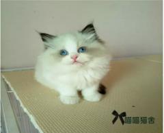 Cfa注册猫舍出售、精品小布偶DDMM期待您的到来
