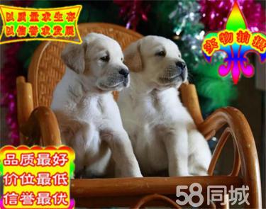 出售纯种拉布拉多幼犬 赛级品质 健康保障 疫苗齐全