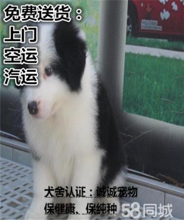純種邊境牧羊犬 三通七白 高品質包健康 可簽協議