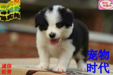 智商第一 丨 专业训犬 丨 边境牧羊犬出售