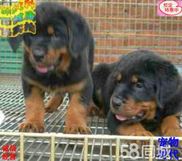 罗威纳犬疫苗齐全、保纯种健康签协议、免费送货