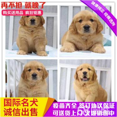 第一次买狗请进来看美系大?#25151;?#22068;带血统的金毛幼犬
