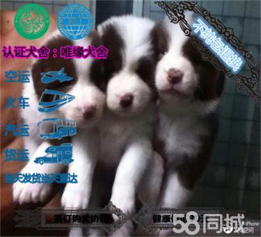 专业繁殖纯种七白三通双血统赛级边牧幼犬高品质
