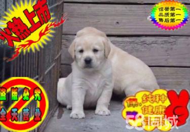 大頭高品質 拉布拉多幼犬出售健康純正好血統多只挑選