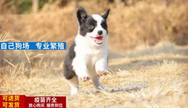 �境牧羊犬 幼犬 品�N� 七白到位,已做��x和疫苗