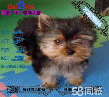 有血统芯片的纯种约克夏幼犬品相好 可签协议