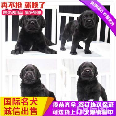 纯种出售纯种拉布拉多 黑色黄色咖啡色拉多幼犬?#21830;?#36873;