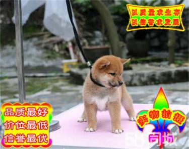 CKU金質犬業專業繁殖赤色雙血統柴犬寶寶開放出售
