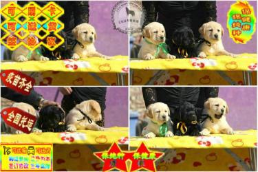 冠軍級種犬后代拉布拉多犬、包活、帶健康證、簽合同