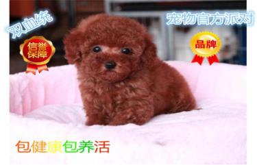 純種韓系泰迪熊 犬舍直銷,簽協議,包純種健康