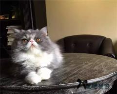 纯家养纯长毛加菲猫波斯猫五短身材眼鼻一线先到先挑