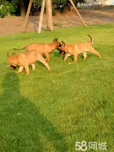 马犬德牧拉布拉多幼犬出售