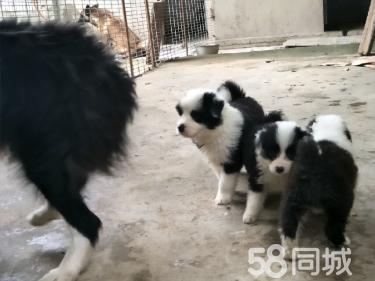 现有幼犬十三窝80多条供挑选~~~武汉虎豹犬舍