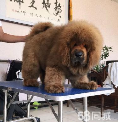 纯种藏獒狗幼犬活体红獒黑獒雪獒宠物狗巨型长毛大狮头