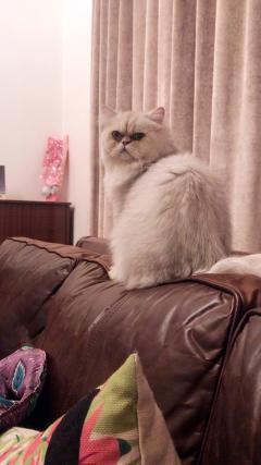 青田的貓轉讓,已絕育已打疫苗脾氣好