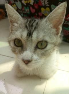美短加白母猫五月龄送新四层猫笼