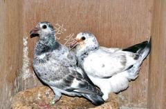 信鴿 非誠勿擾。。