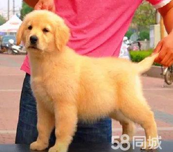 一条狗的使命,大骨架金毛,等待爱心的你带回家