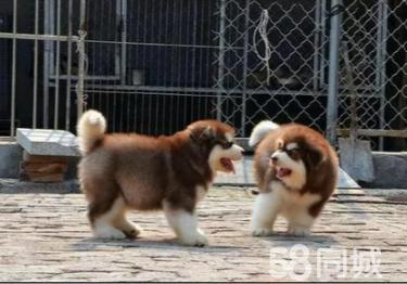 ↑狗場直銷巨型阿拉斯加↑各種名犬↑價格優惠↑