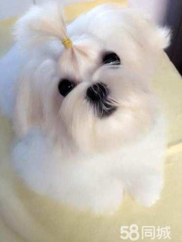 6个月的马尔济斯犬6000元(公)