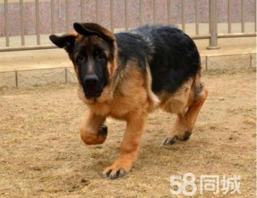 出售纯种家养德国牧羊犬宝宝,活泼品相好德牧幼犬价格