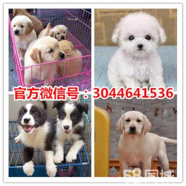 本地犬舍一直销世界各类名犬一送用品一签协议-包养活
