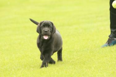 純種拉布拉多幼犬出售中,誠心想養的聯系我