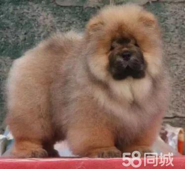 純種大頭肉嘴松獅犬 寵物狗狗肥嘟嘟3個月包健康