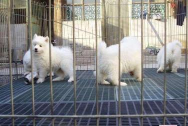 長相甜美,好養,聰明的薩摩犬出售了家養 可視頻